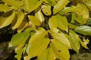 エノキの黄葉の葉
