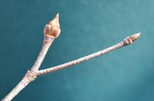 1102ヤマボウシの冬芽