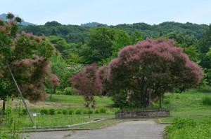 スモークツリー 樹木