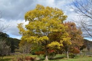 エノキの黄葉2