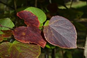 マルバノキの紅葉の葉