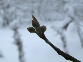 オオバクロモジの冬芽 - コピー