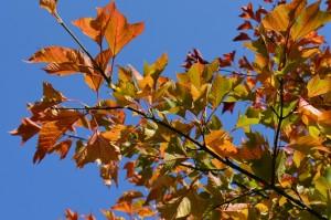 ウリハダカエデの紅葉の葉