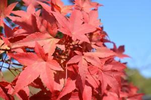 ヤマモミジの紅葉の葉2