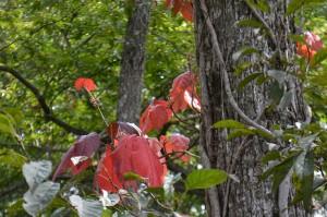 ツタウルシの紅葉の葉