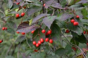 オトコヨウゾメの果実