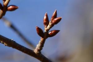 オオヤマザクラの冬芽2