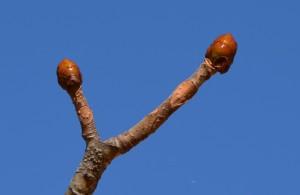 トチノキの冬芽