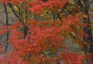 メグスリノキ紅葉