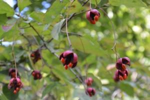 ツリバナの果実