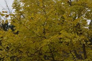 1108 エノキ黄葉