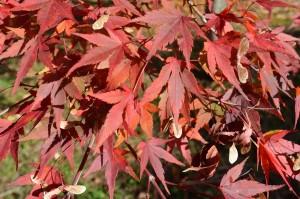 イロハモミジの紅葉の葉