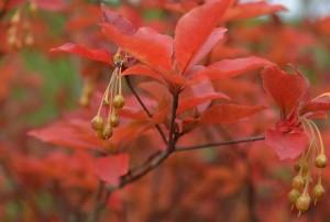 アブラツツジ果実・紅葉