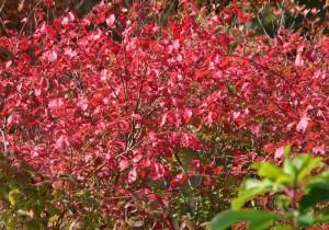 1021 ニシキギ紅葉