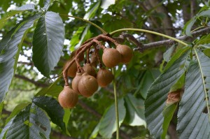 トチノキの果実