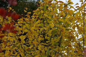 オオバクロモジ黄葉