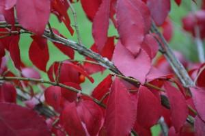 ニシキギ紅葉