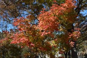 メグスリノキの紅葉 (2)