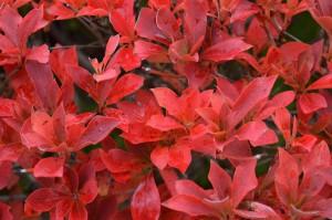 ドウダンツツジの紅葉の葉