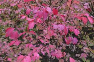 コマユミの紅葉の葉