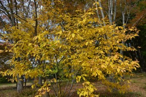 オオバクロモジの黄葉