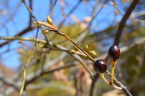 オオバクロモジの冬芽と果実