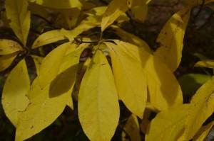 オオバクロモジの黄葉の葉