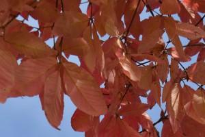 メグスリノキの紅葉の葉2
