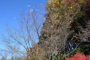 ジュウガツザクラが秋に満開