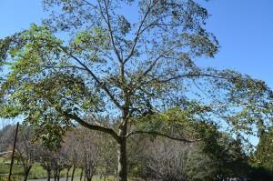 キハダの果実の木